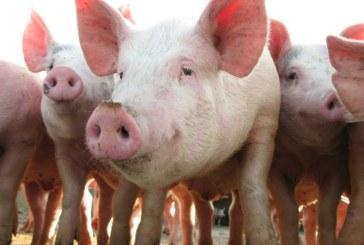Presedintele ANSVSA: Cresterea porcului in gospodariile populatiei nu va fi interzisa