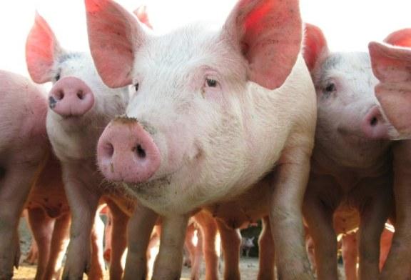 Nu ii mai mintiti pe micii agricultori! ANSVSA vrea sa interzica fermierilor romani sa mai creasca porci in gospodarii