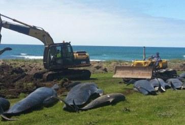 51 de balene pilot au murit pe o plaja din Insulele Chatham din Noua Zeelanda