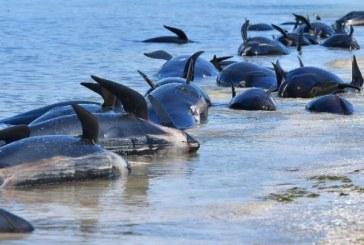 Circa 145 de balene pilot au murit pe o plaja izolata din Noua Zeelanda