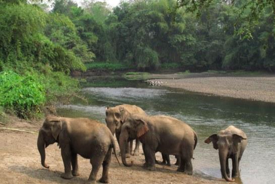 La un sanctuar dedicat elefantilor varstnici din Thailanda, pahidermele se relaxeaza pe acorduri muzicale