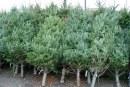 Romsilva scoate la vanzare 40.000 de pomi pentru Craciun in acest an, la preturi intre 15 si 35 de lei bucata