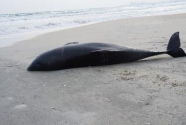 Constanta: Numarul delfinilor esuati pe litoralul romanesc s-a redus semnificativ in anul 2018