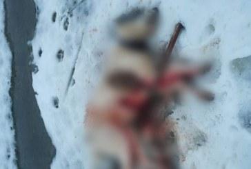 Atrocitate: Caini executati prin impuscare pe pasunea localitatii Remeti. Incidentul s-a petrecut in aceasta seara
