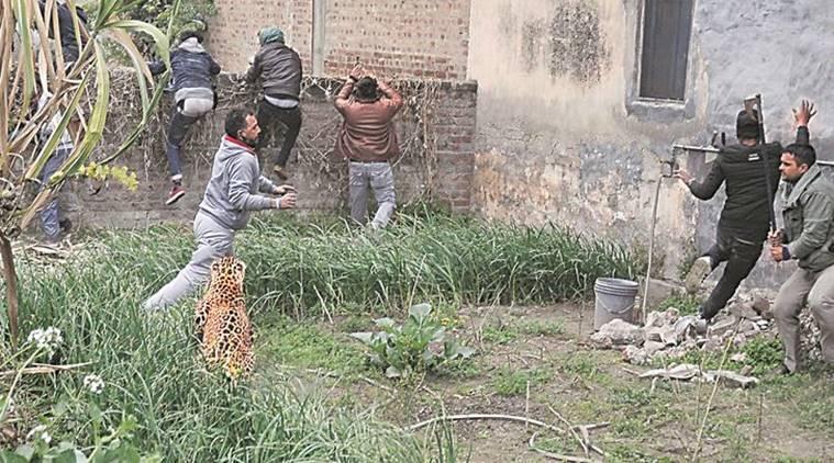 India - Un leopard ratacit a provocat panica in randul locuitorilor unui oras nordul tarii