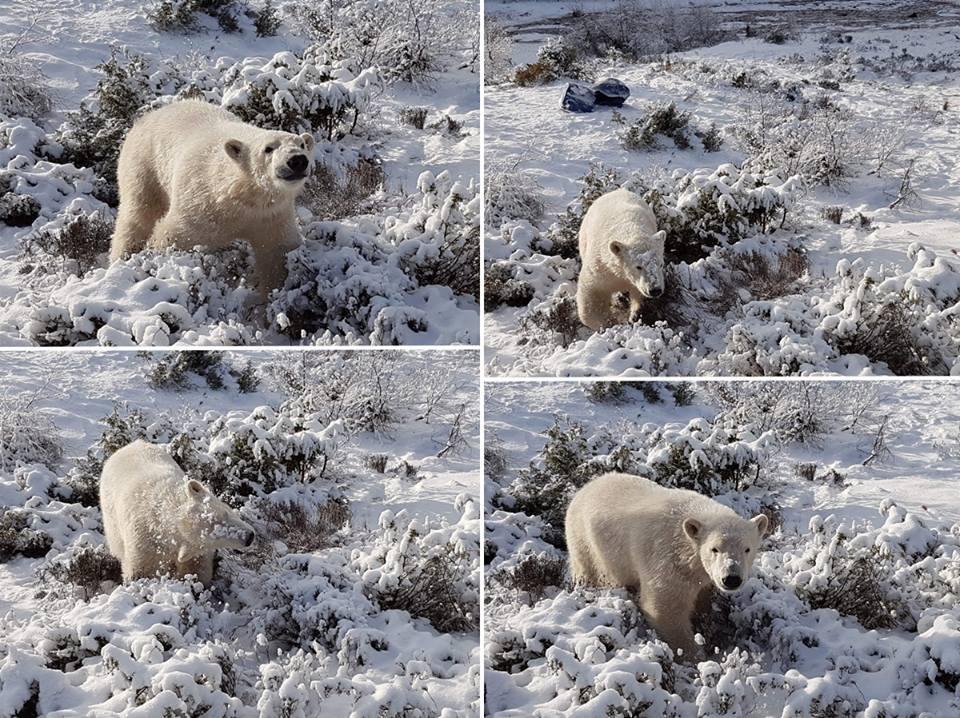 Singurul pui de urs polar din Marea Britanie, fotografiat in timp ce se juca in zapada