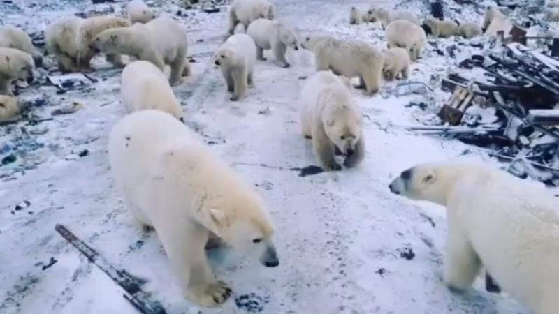 Rusia: Armata va apara un oras din Arctica de ursii polari infometati