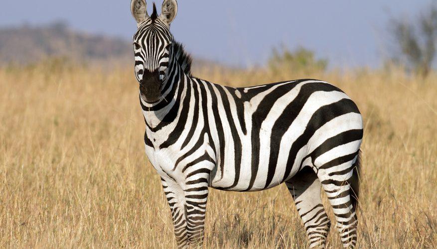 Dungile zebrelor provoaca aterizari necontrolate ale mustelor
