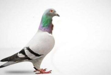 Un porumbel voiajor a fost vandut cu 1,25 milioane de euro in Belgia, un record mondial