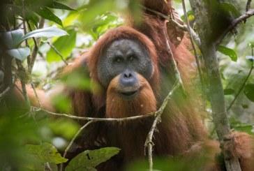 Cea mai rara specie de urangutan, impinsa spre disparitie de construirea unui baraj in Sumatra