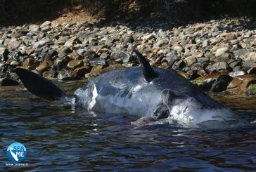 O balena gestanta, cu 22 de kilograme de plastic in stomac, descoperita moarta pe o plaja din Italia