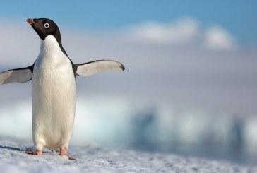 """Disneynature aniverseaza 10 ani cu lansarea noului documentar """"Penguins"""""""