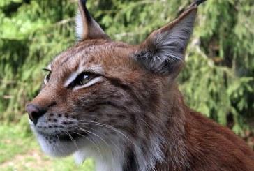 Slovenia: Un linx adus din Romania pentru repopularea padurilor cu aceasta specie