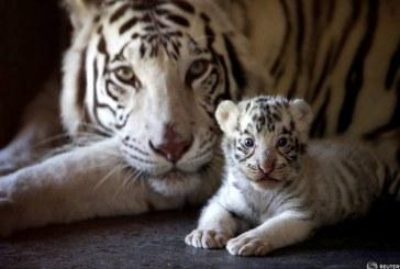 Imaginea zilei in lume: Un pui de tigru Bengal alb este fotografiat cu mama sa