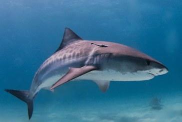 """Temutul rechin-tigru este de fapt un """"pradator surprinzator de lenes"""""""