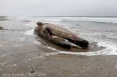 Cincizeci de balene-pilot, descoperite moarte de turisti pe o plaja din Islanda