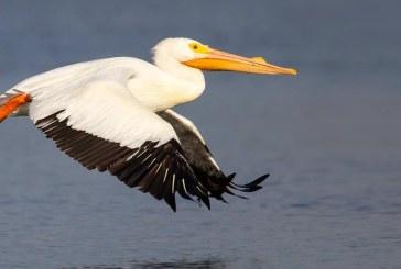 SUA – Un pelican a inghitit un telefon mobil crezand ca este un peste