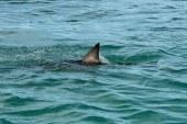 SUA: Un rechin alb, detectat pentru prima data in estuarul Long Island, New York