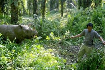 """Ultimul exemplar mascul de rinocer de Sumatra din Malaezia """"nu are sperante de supravietuire"""""""