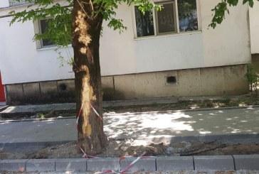 Baia Mare: Copaci lasati fara coaja pe strada Matei Basarab. Un adult inspira pana la 8 l de aer/minut. Detalii si foto in articol