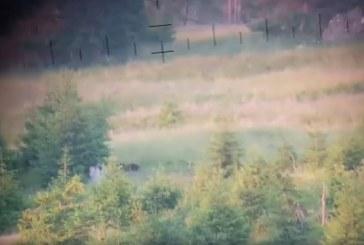 Momentul in care un urs si un caprior sunt filmati pe un fond de vanatoare din Botiza (VIDEO)