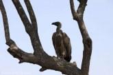 Sute de vulturi rari, otraviti in masa in Botswana