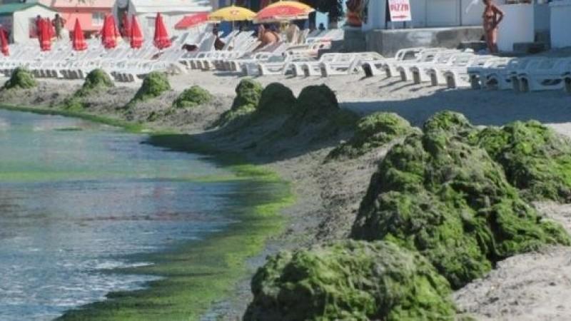Mii de tone de alge, pe litoralul romanesc: Care sunt statiunile cele mai afectate