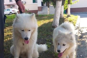 Doi caini de rasa au ajuns la Politia Maramures, neinvitati