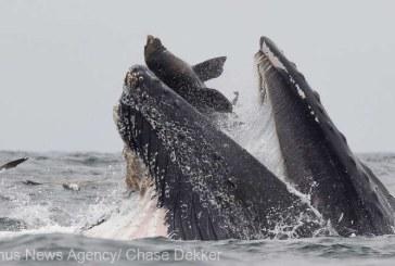 Fotografie rara: un leu de mare, surprins in timp ce a cazut in gura larg deschisa a unei balene