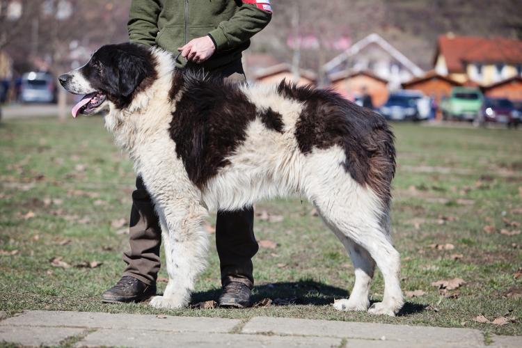 Mures: Ciobanescul Romanesc de Bucovina participa, in premiera, la 'Dracula Dog Show' ca rasa omologata international