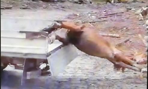 MACABRU - IMAGINI CARE VA POT AFECTA EMOTIONAL: Cal viu tarat dupa un tractor, pentru a fi dat hrana ursilor (VIDEO)
