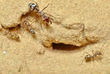Cea mai rapida furnica din lume traieste in Sahara