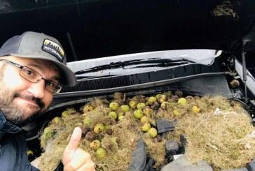 SUA – Sute de nuci adunate de veverite pentru iarna, descoperite sub capota unei masini