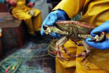 Un crab de zapada, vandut la licitatie in Japonia la pretul record de 41.600 de euro