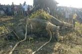 """India – Un elefant, poreclit """"Ben Laden"""", a fost capturat dupa ce a ucis cinci sateni"""