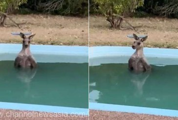 Australia – Un cangur epuizat, observat racorindu-se intr-o piscina dintr-o zona amenintata de incendii