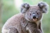 Australia: Seminţe de eucalipt, împrăştiate cu ajutorul dronelor pentru a contribui la refacerea populaţiei de koala