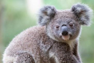 Un koala afectat de canicula a oprit un grup de ciclisti pentru a primi apa
