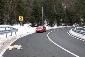 Informatii contradictorii furnizate de Politia Maramures in cazul catelusei ucise la 5 km de Borsa. Nu este deocamdata clar unde a fost ucis animalul