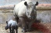 Un rinocer negru in pericol critic de disparitie s-a nascut in Marea Britanie