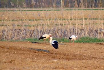 Societatea Ornitologică Română: 3.575 de cuiburi de berze, dintre care 1.403 sunt noi