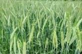 Estimări pozitive pentru recolta de grâu din acest an şi preţuri foarte mari