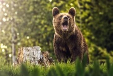 ALERTĂ – Ursul a ajuns printre casele oamenilor din Bușag