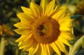 Imaginea zilei: Floarea soarelui