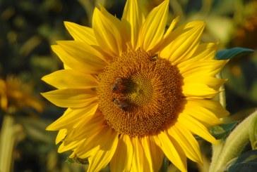 Producţiile de porumb şi floarea soarelui vor scădea la jumătate în acest an din cauza secetei