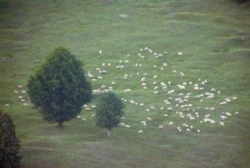 Imaginea zilei: Oi la păscut, în Maramureș