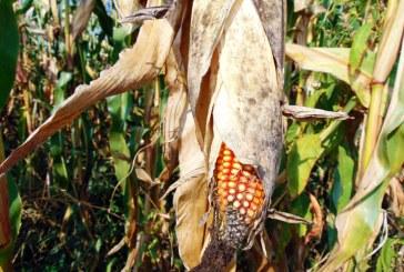 România a exportat aproape 3,4 milioane de tone de porumb boabe în primele şase luni din acest an