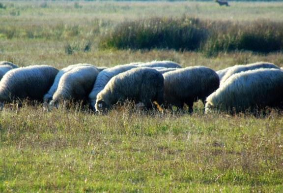 O primărie din Maramureș face apel la proprietarii de oi să nu-și mai pășuneze turmele pe culturile agricole