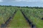 Culturile de afin din Maramureș în extindere