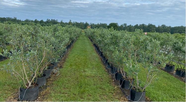 plantație afine